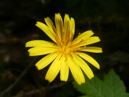 gelbe Blume :-)